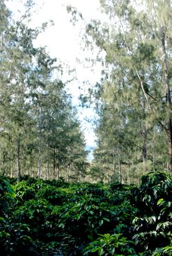 パプアニューギニアシグリ農園